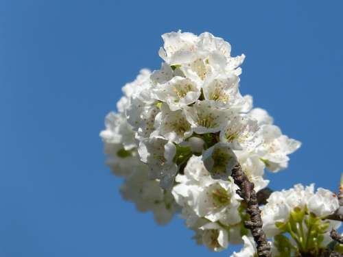 Cherry Flower Flowering Cherry Blossom Spring