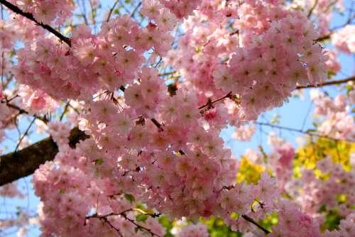 Cherry Blossom Ornamental Cherry Cherry Tree