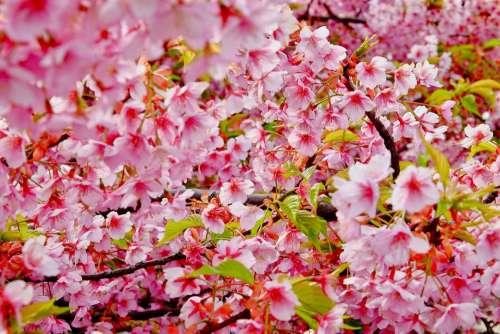 Cherry Blossom Spring Flower Pink Full Bloom