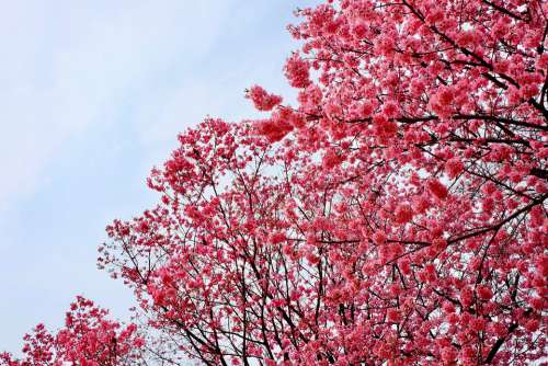 Cherry Blossom Pink Trees Full Blooming Birds