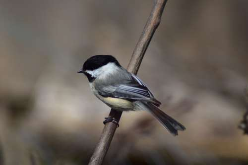 Chickadee Bird Nature Wildlife Perched Outdoors