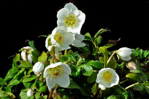 Ciemierniki White Garden Nature Flourishing