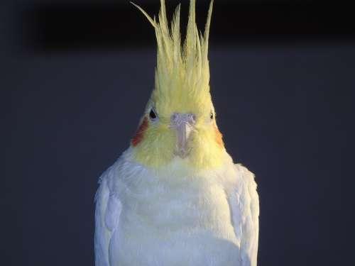 Cockatiel Parrot Cockatoo Bird Closeup Animals