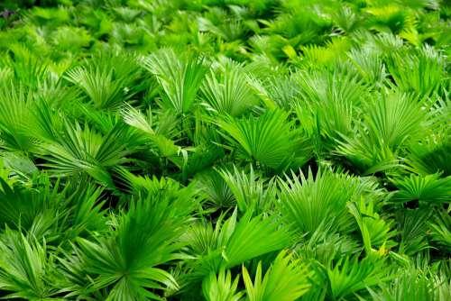 Coconut Tree Green Nature Vietnam Fresh