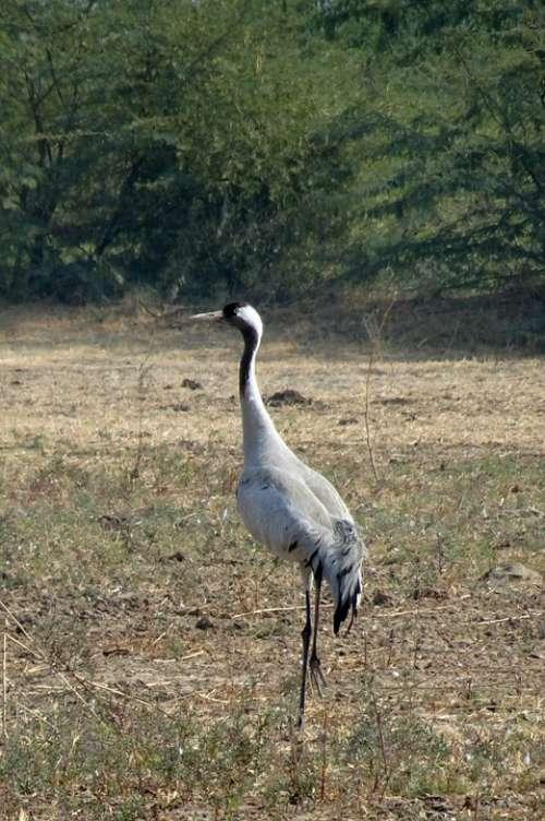 Common Crane Grus Grus Eurasian Crane Bird Gruidae
