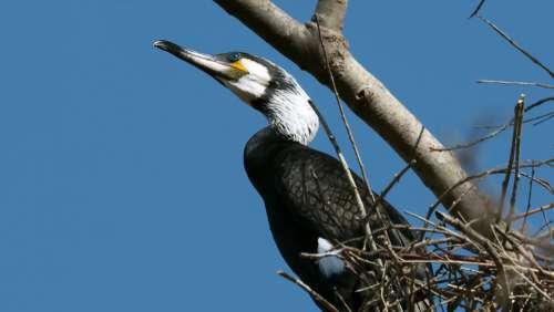 Cormorant Birds Bird Black Portrait