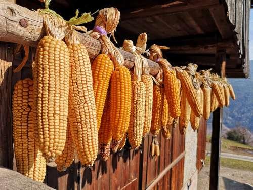 Corn Vegetables Healthy Ornament Contadiono