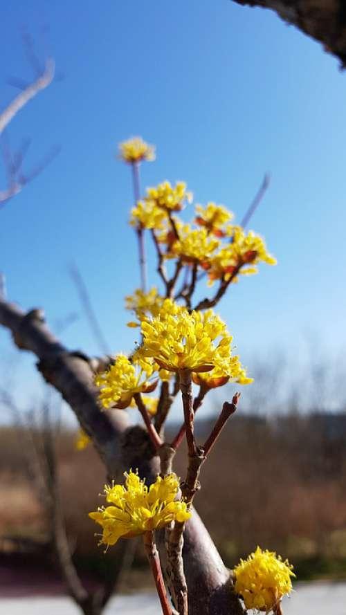 Cornus Cornus Flower Spring Flowers Yellow Flowers
