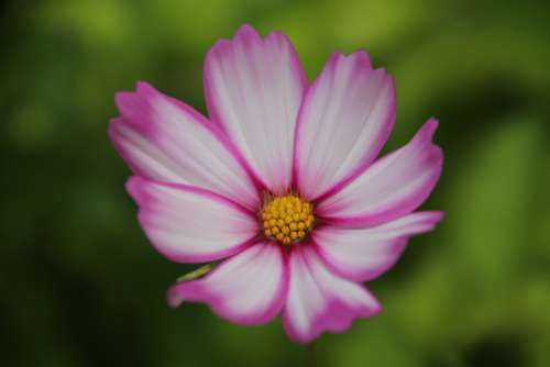 Cosmos Flower Beauty Natural Flowers Botany