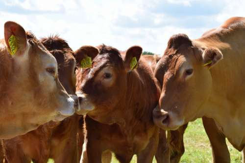 Cow Cows Cattle Meadow Animal Beef Farm Grass