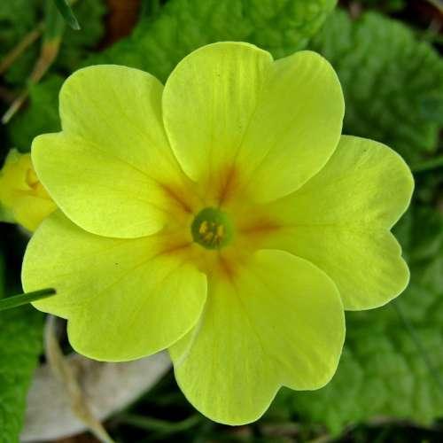 Cowslip Spring Yellow Macro Primrose Plant Nature