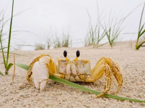 Crab Sea Seaside Sand Nature Ocean Marine Animal