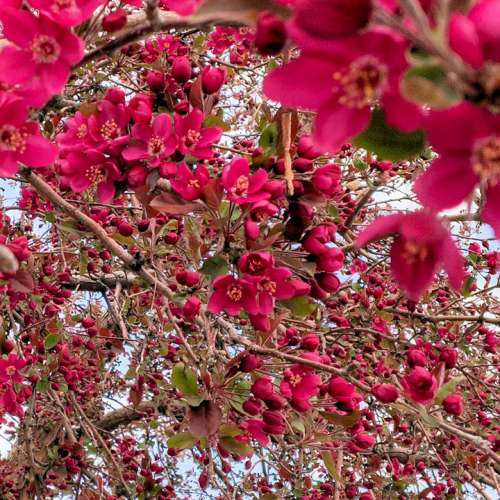 Crabapple Blossoms Tree Spring Pink Flower Nature