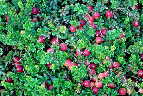 Cranberry Plant Fruit Jagoda Summer Garden Nature