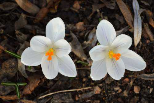 Crocus Flower White Plants Nature Spring Color