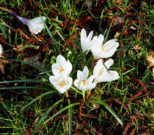 Crocus White Garden Spring Bloom Nature Flowers