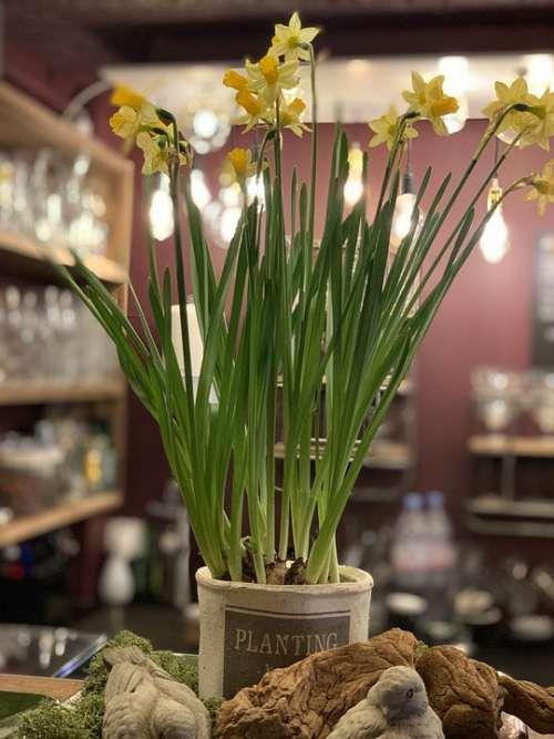 Daffodils Flowers Deco