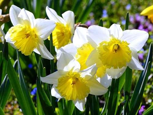 Daffodils Blossom Bloom Daffodil Spring
