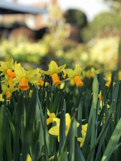 Daffodils Spring Yellow Bokeh