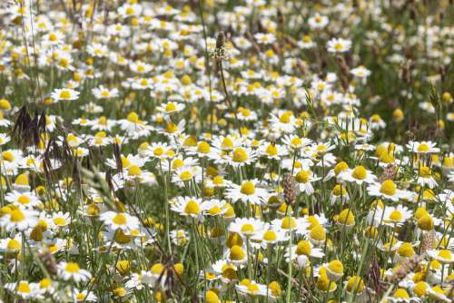 Daisy Field Flowers Spring Meadow Nature Summer