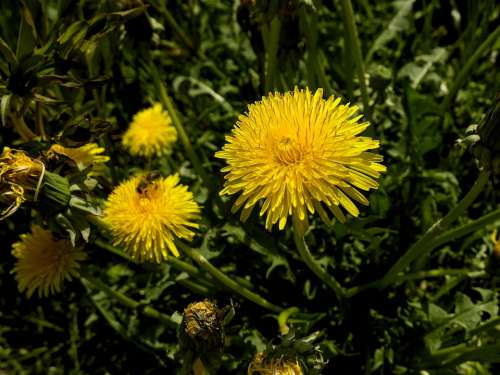 Dandelion Yellow Nature Plant Meadow Summer