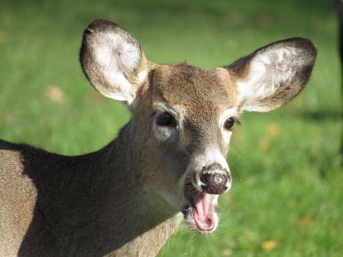 Deer Male Nature Animal Wildlife Outdoors