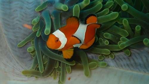 Diving Anemone Underwater Sea Reef Clown Fish