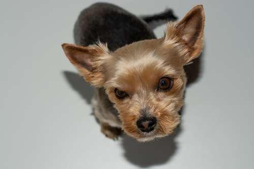 Dog Small Yorki Sweet Cute Pet Animal Mammal