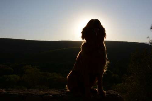 Dog Golden Retriever Silhouette
