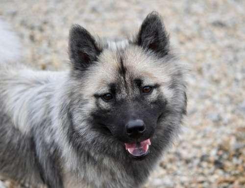 Dog Dog Eurasier Female Eurasier Bitch Nova Canine