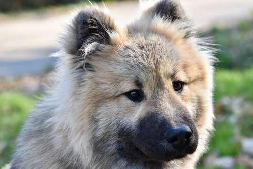 Dog Dog Eurasier Eurasier Male Black Muzzle
