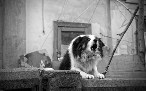 Dog Barking Fence Home Black And White Angry