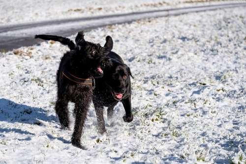 Dogs Play Fun Pet Labradoodle Riesenschnauzer