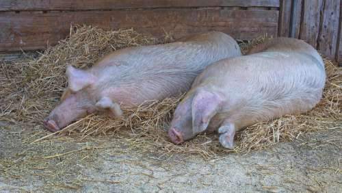 Domestic Pig Pig Lying Sleeping Animal Livestock