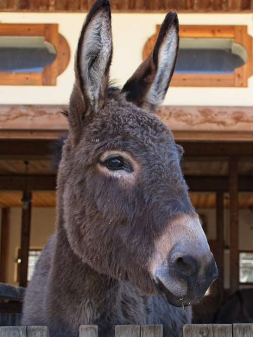 Donkey Head Ears Beast Of Burden Livestock Mammal