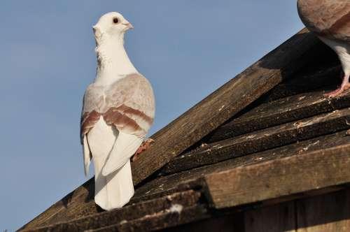 Dove Bird Birds Sky