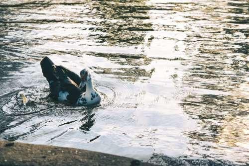 Duck Animal River Water Swim Sunset