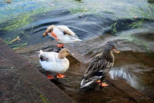 Ducks Nature Animals Birds Freedom Lake Swim
