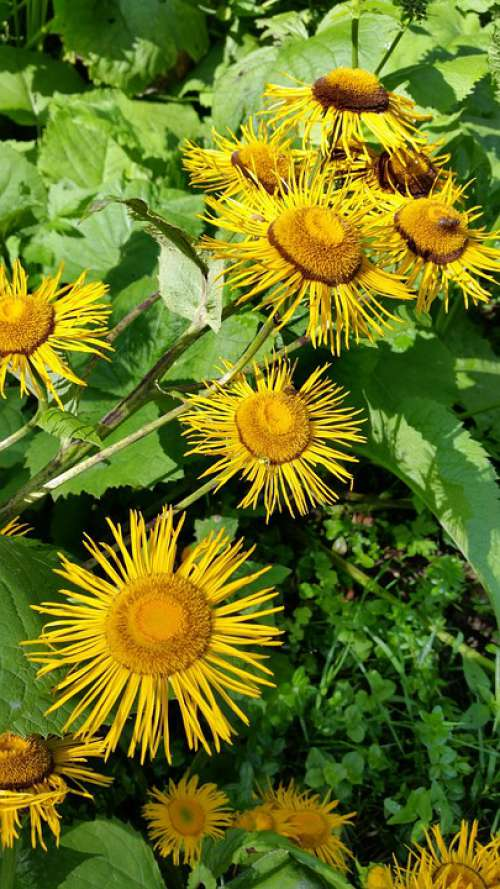 Elecampane Flowers Yellow Flower Nature Floral