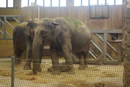 Elephant Zoo Animals Nature Safari Mammal Africa