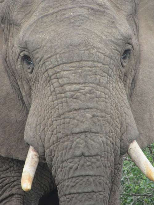 Elephant Look At Penetrating Powerful Strong