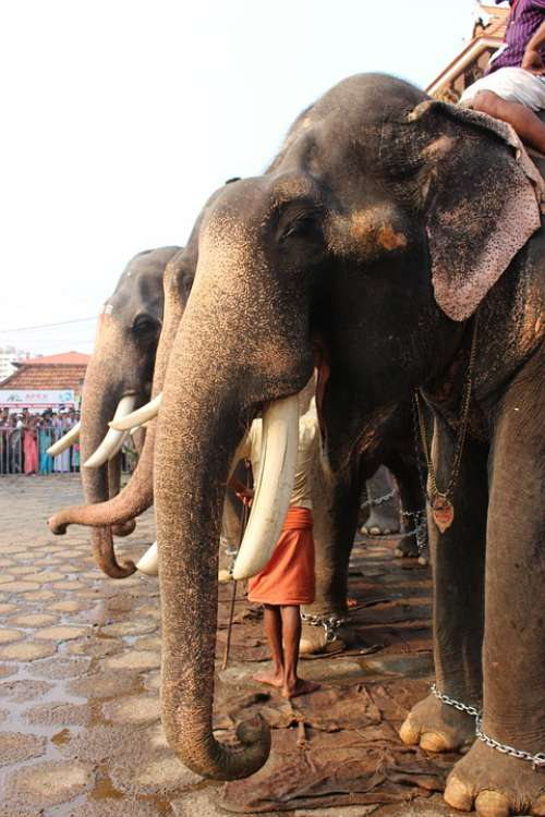 Elephant Festival Hindu India Culture Religion
