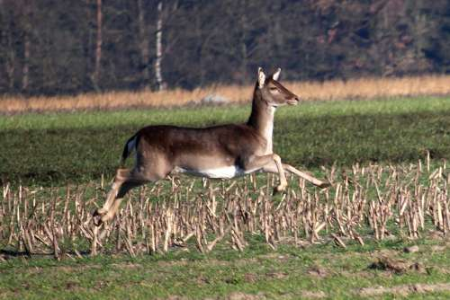 Fallow Deer Jump Arable Forest Animal Movement
