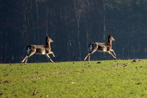 Fallow Deer Jump Arable Forest Animal Movement