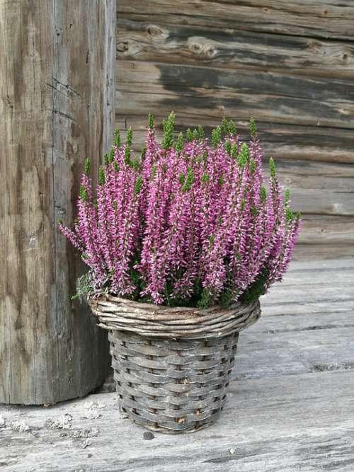 Flower Heather Purple Gray Old