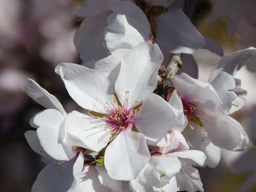 Flower Spring Almond Tree Almond Flower