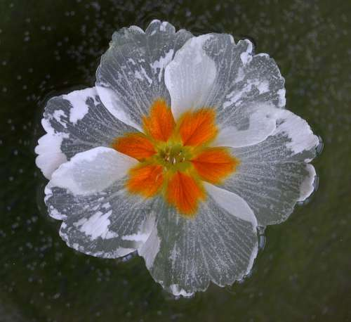 Flower Water Waterline White Wet Nature Plant