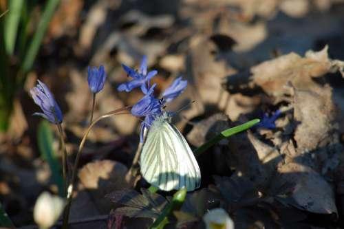 Flower Butterfly Underwood Spring Scilla Bifolia