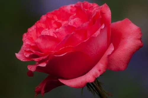 Flower Nature Plant Garden Roses