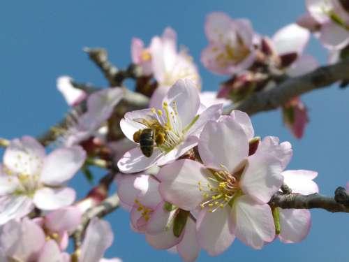 Flower Almond Tree Flowering Branch Spring